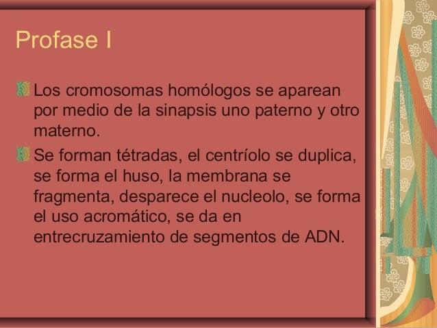 Profase ILos cromosomas homólogos se apareanpor medio de la sinapsis uno paterno y otromaterno.Se forman tétradas, el cent...