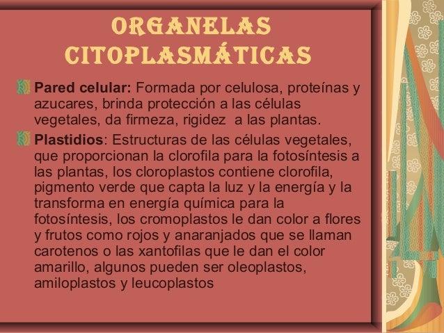 organeLascitopLasmáticasPared celular: Formada por celulosa, proteínas yazucares, brinda protección a las célulasvegetales...