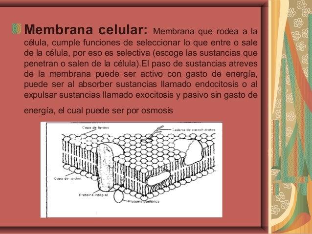 Membrana celular: Membrana que rodea a lacélula, cumple funciones de seleccionar lo que entre o salede la célula, por eso ...