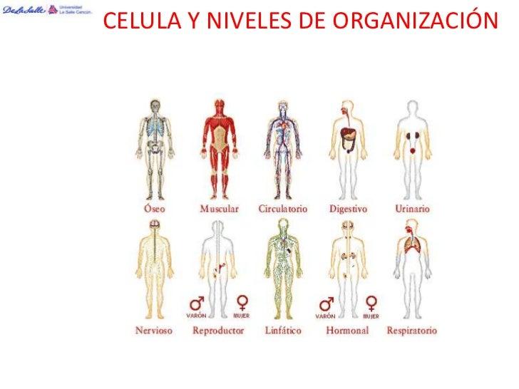 CELULA Y NIVELES DE ORGANIZACIÓN