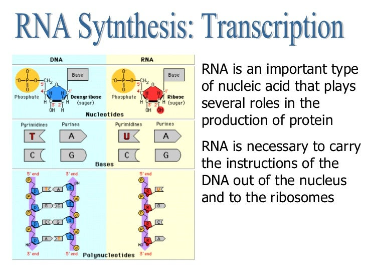 RNA Sytnthesis: Transcription RNA is an important type of nucleic acid that plays several roles in the production of prote...