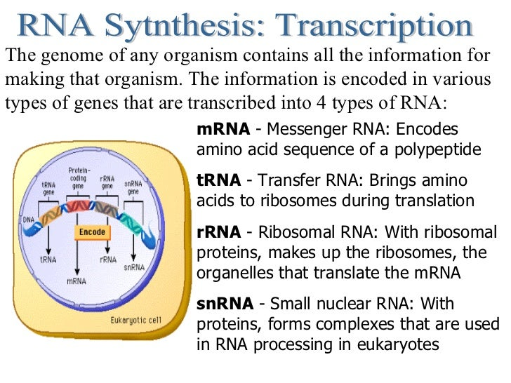 RNA Sytnthesis: Transcription The genome of any organism contains all the information for making that organism. The inform...