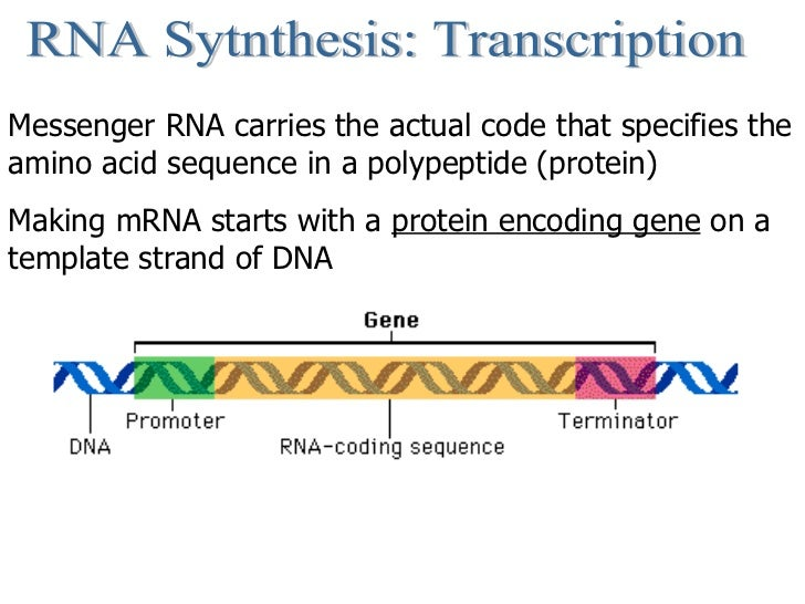 RNA Sytnthesis: Transcription Messenger RNA carries the actual code that specifies the amino acid sequence in a polypeptid...