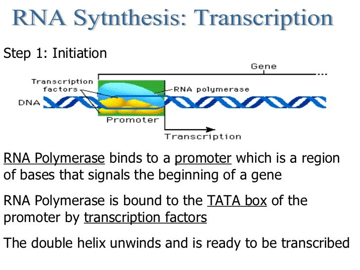 RNA Sytnthesis: Transcription Step 1: Initiation RNA Polymerase  binds to a  promoter  which is a region of bases that sig...