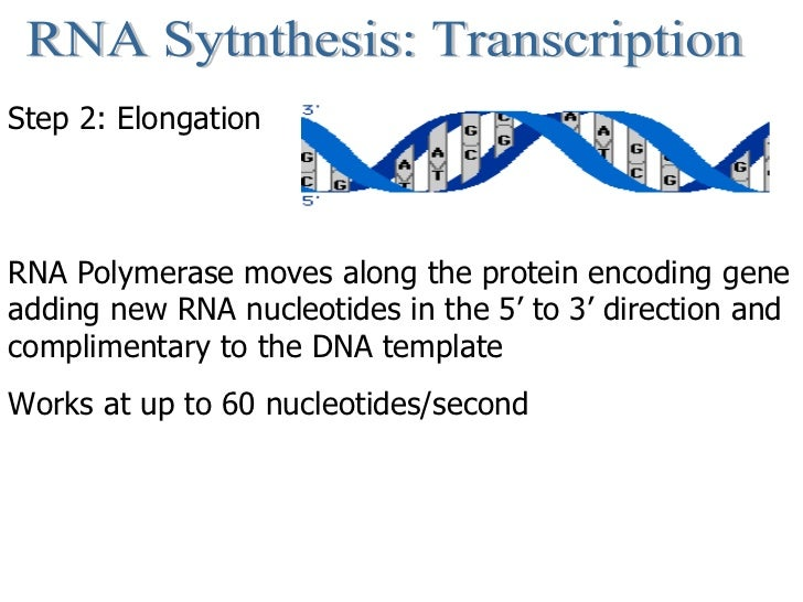 RNA Sytnthesis: Transcription Step 2: Elongation RNA Polymerase moves along the protein encoding gene adding new RNA nucle...