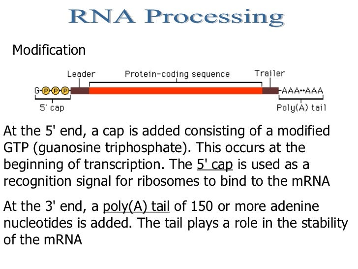 RNA Processing Modification At the 5' end, a cap is added consisting of a modified GTP (guanosine triphosphate). This occu...
