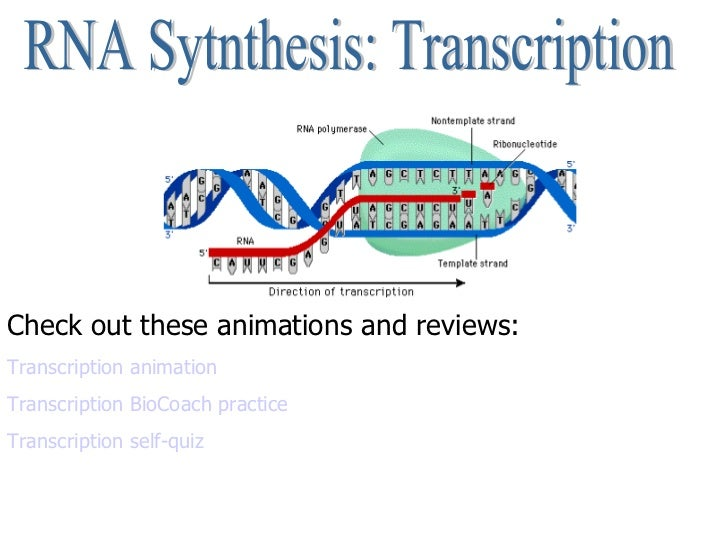 RNA Sytnthesis: Transcription Check out these animations and reviews: Transcription animation Transcription BioCoach pract...