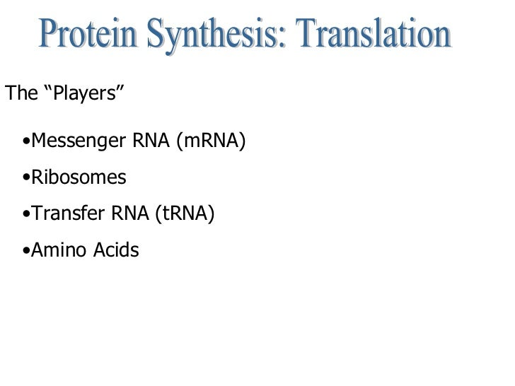 """Protein Synthesis: Translation The """"Players""""   <ul><li>Messenger RNA (mRNA) </li></ul><ul><li>Ribosomes </li></ul><ul><li>..."""