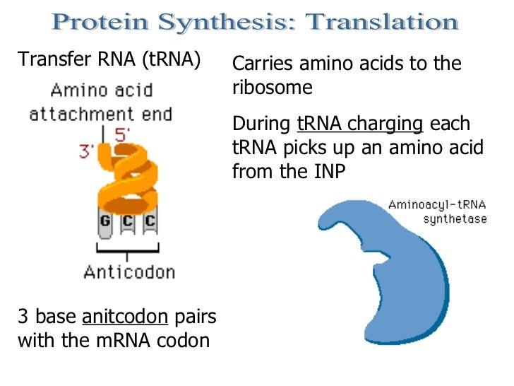 Protein Synthesis: Translation Transfer RNA (tRNA) Carries amino acids to the ribosome During  tRNA charging  each tRNA pi...