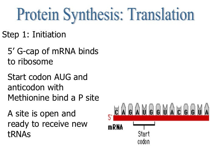 Protein Synthesis: Translation Step 1: Initiation 5' G-cap of mRNA binds to ribosome Start codon AUG and anticodon with Me...