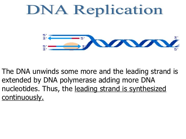 DNA Replication The DNA unwinds some more and the leading strand is extended by DNA polymerase adding more DNA nucleotides...