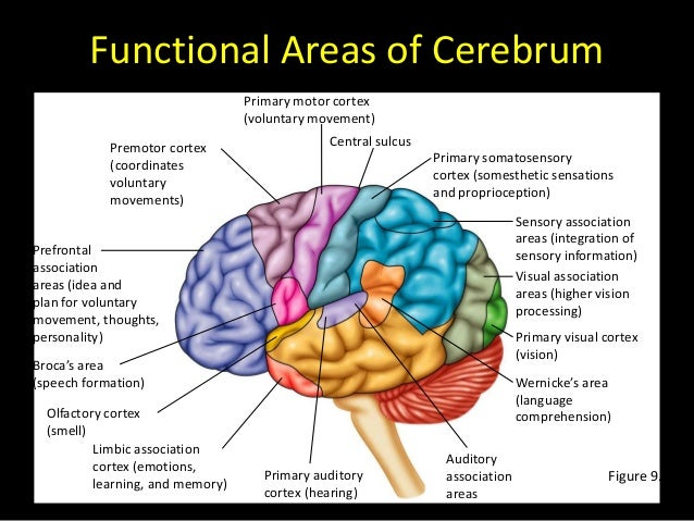 structure and functions of the brain worksheet