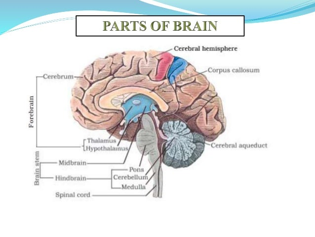 Central nervous system forebrain cerebrum thalamus hypothalamus 6 ccuart Image collections