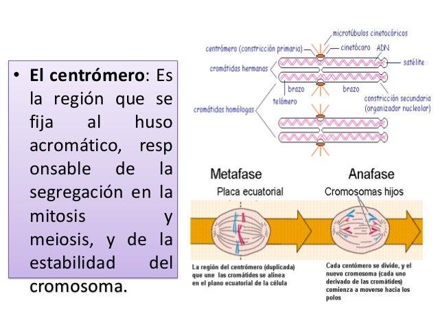Centromero Slide 2
