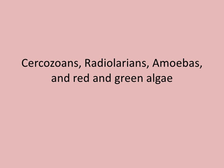 Cercozoans, Radiolarians, Amoebas, and red and green algae<br />