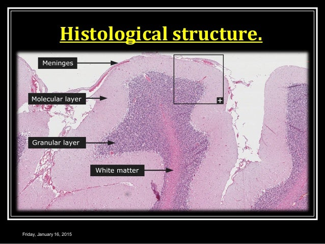 Histological structure. Friday, January 16, 2015