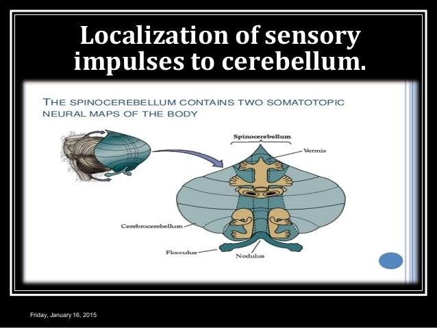 Localization of sensory impulses to cerebellum. Friday, January 16, 2015
