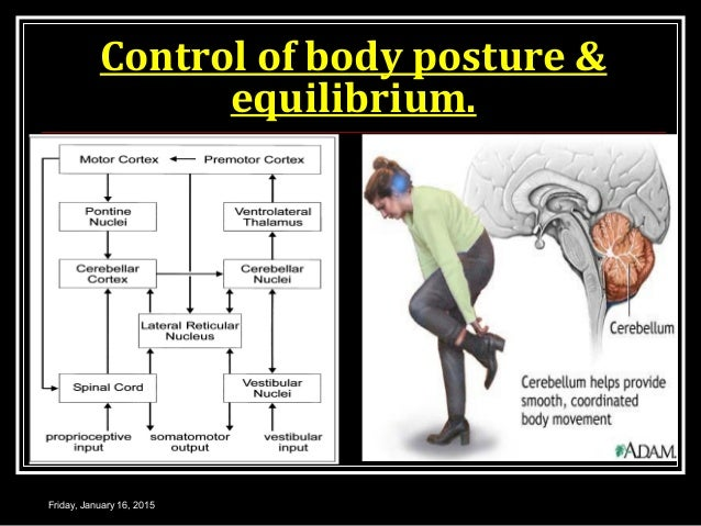 Control of body posture & equilibrium. Friday, January 16, 2015