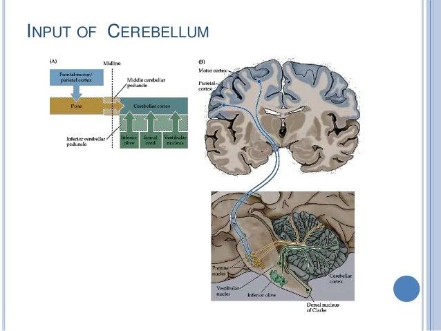 INPUT OF CEREBELLUM
