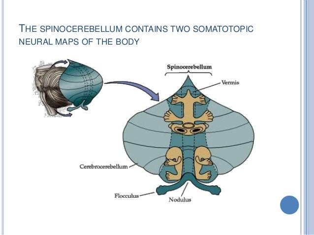 THE SPINOCEREBELLUM CONTAINS TWO SOMATOTOPIC NEURAL MAPS OF THE BODY