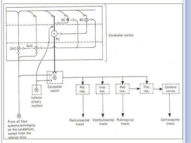 Tracts or fiber bundles Distribution Inferior cerebellar peduncle Afferent paths Olivocerebellar tract Lateral hemispheres...