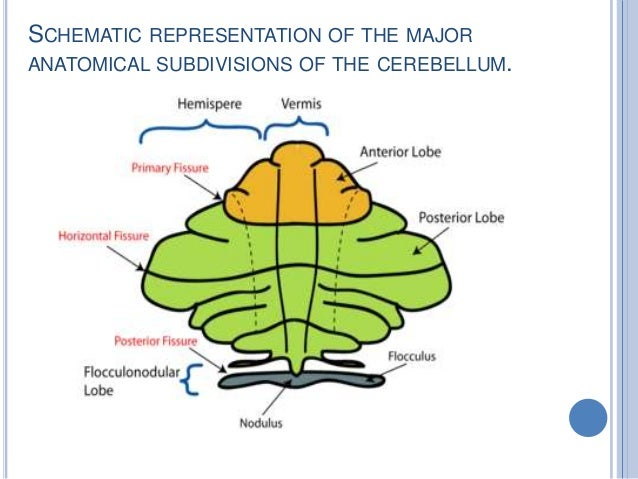 Cerebellum Anatomy and Physiology