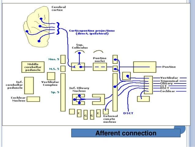  RED NUCLEUS MAIN CONNECTIONS OF THE PALEOCEREBELLUM RED NUCLEUS NUCLEUS INTERPOSITU S ANTERIOR LOBE PARAVERMA L ZONE PAL...