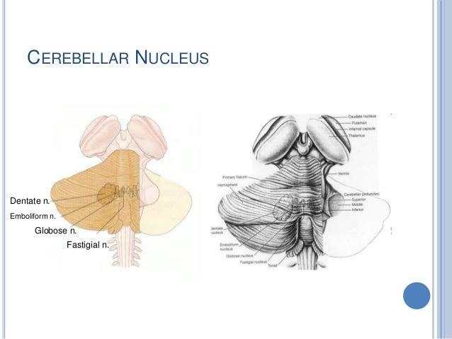 CEREBELLAR NUCLEUS Dentate n. Emboliform n. Globose n. Fastigial n.