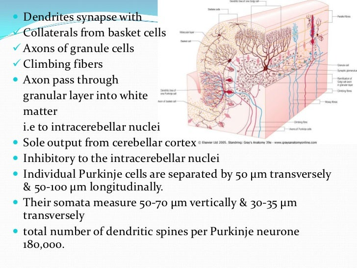Granular Layer 100 μm thick in the fissures and 400-500 μm on foliar  summits 2.7 million granular neurones per cubic mi...