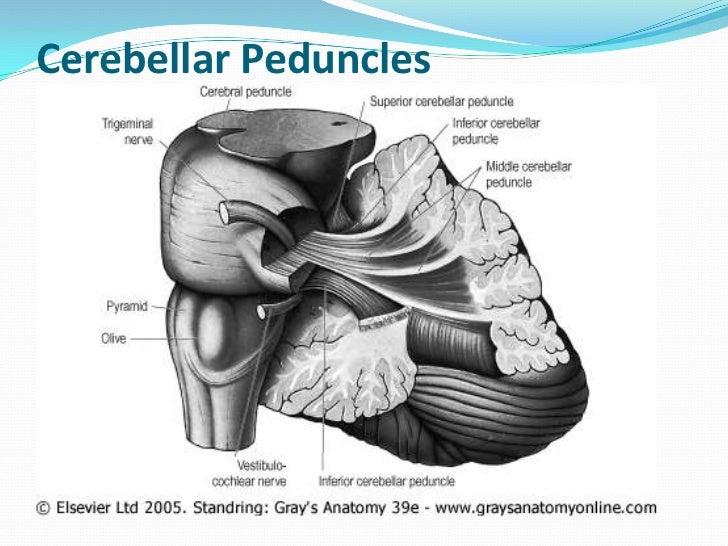 Inferior cerebellar peduncleAfferent fibers Posterior spinocerebellar fibers- ipsilateral thorasic  nucleus (Clarke's col...