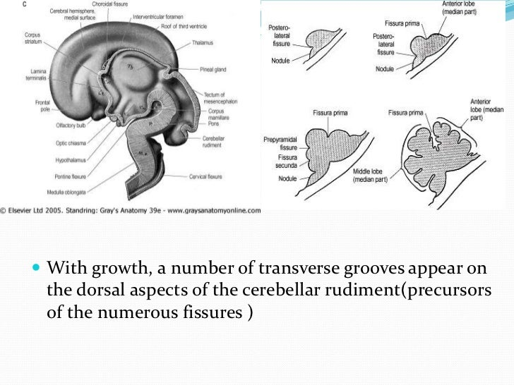  early in cerebellar development a layer of cells derived  exclusively from the metencephalic rhombic lip cerebellum has...