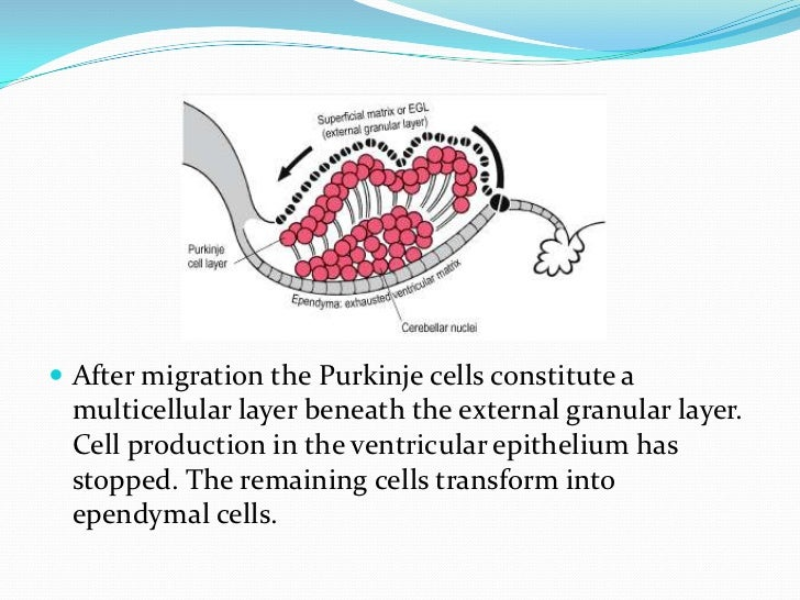  Granule cells are produced by the external granular layer and migrate inwards through the Purkinje cell layer to their p...