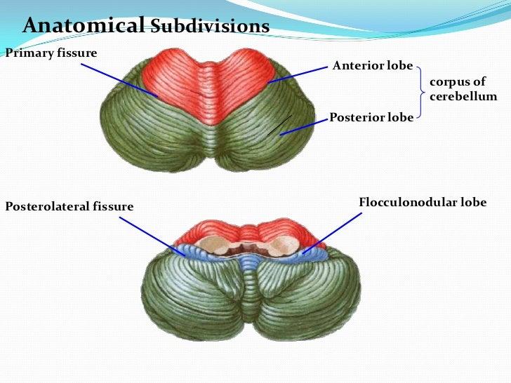 Image result for cerebellum flocculonodular lobe