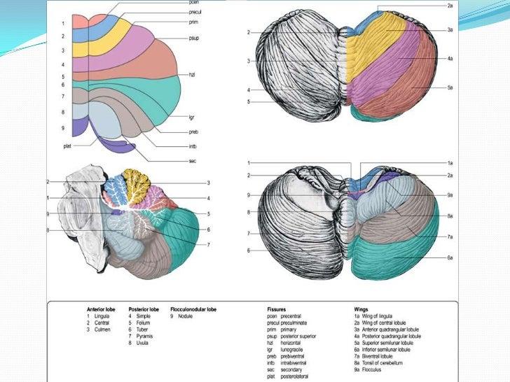  Some neuroscientist map out cerebellum by Ten Roman numericals
