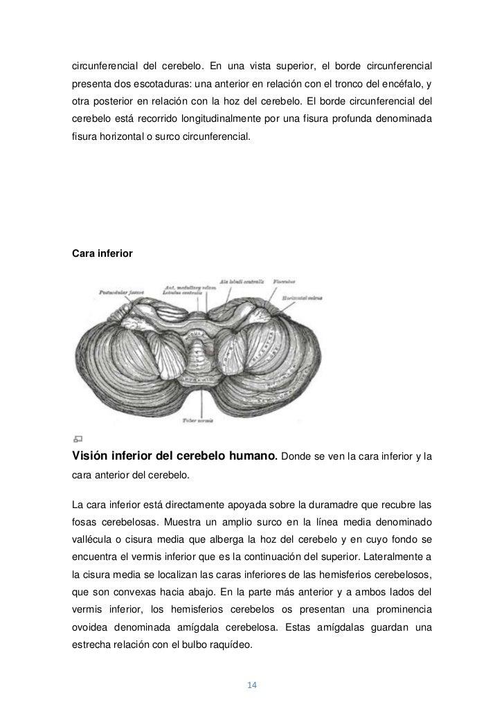 circunferencial del cerebelo. En una vista superior, el borde circunferencialpresenta dos escotaduras: una anterior en rel...