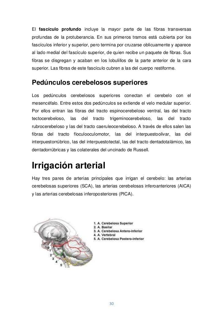 El fascículo profundo incluye la mayor parte de las fibras transversasprofundas de la protuberancia. En sus primeros tramo...
