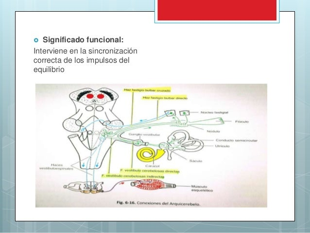Cerebelo anatomia