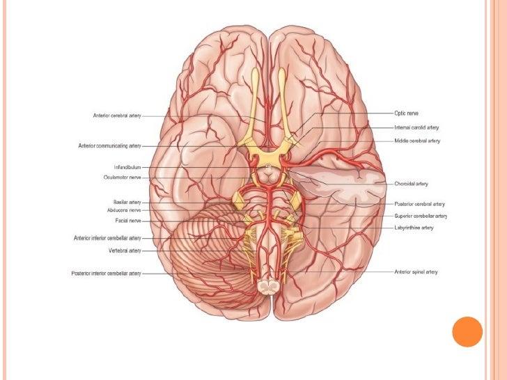 Cerebral Circulation By Drshad