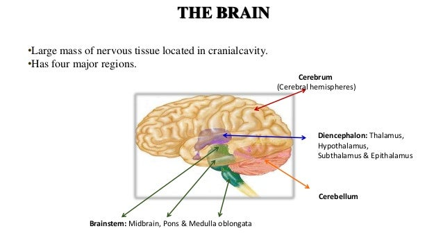 Cerebral circulation and brain stem syndromes ccuart Image collections