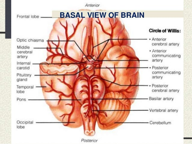 Cerebral vasculature selol ink cerebral vasculature ccuart Choice Image