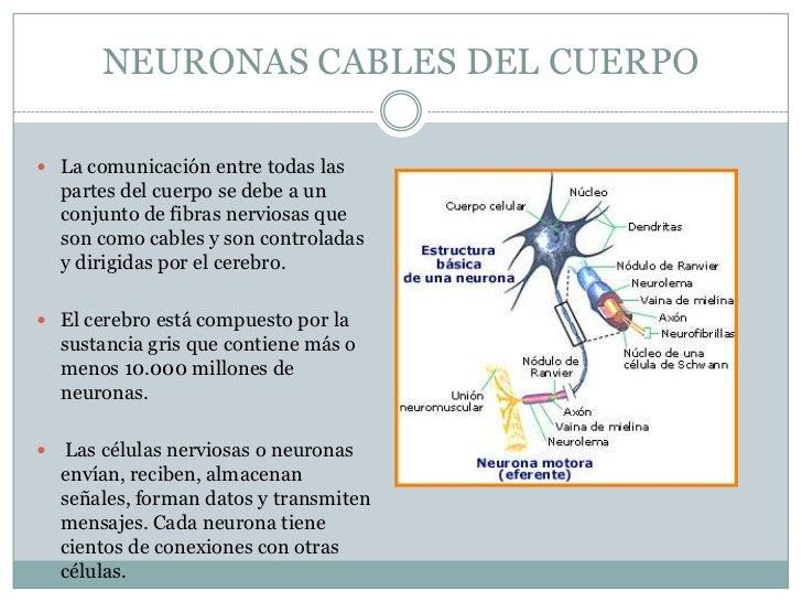 NEURONAS CABLES DEL CUERPO La comunicación entre todas las    partes del cuerpo se debe a un    conjunto de fibras nervio...
