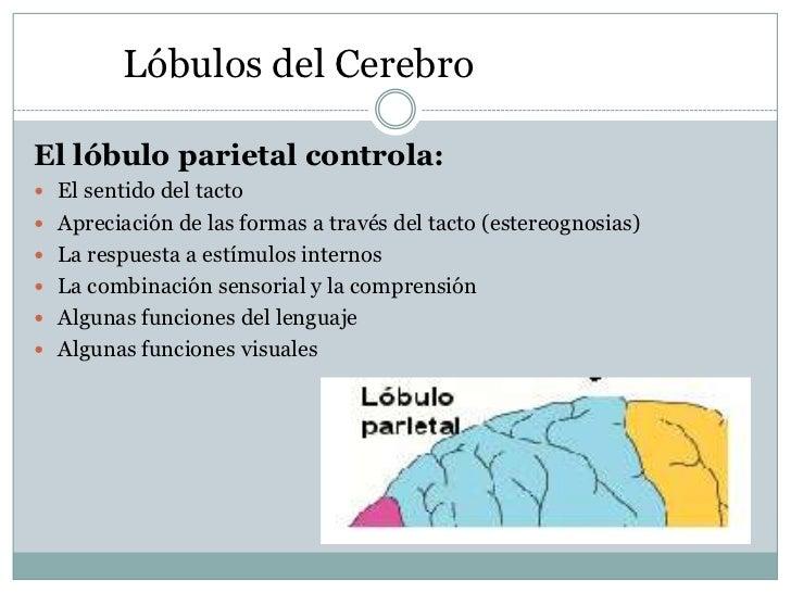 Lóbulos del CerebroEl lóbulo parietal controla: El sentido del tacto Apreciación de las formas a través del tacto (ester...