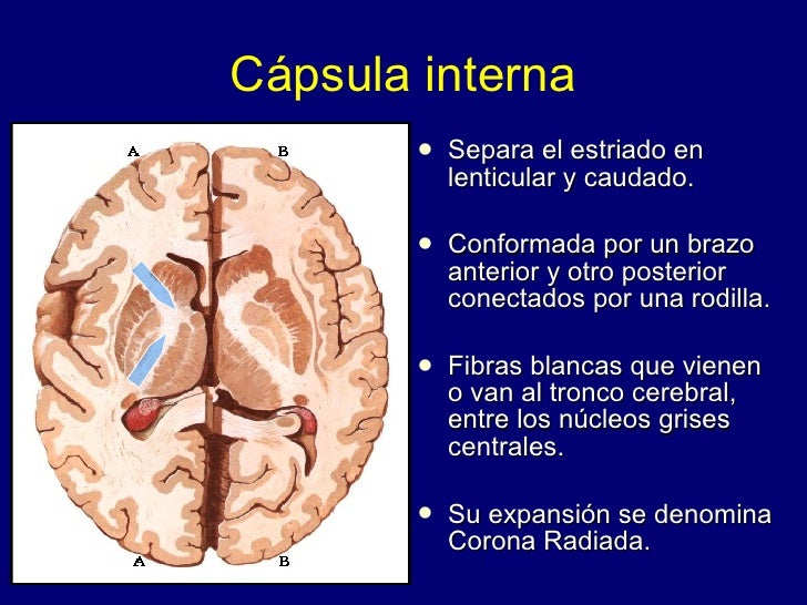 Cerebro configuración interna