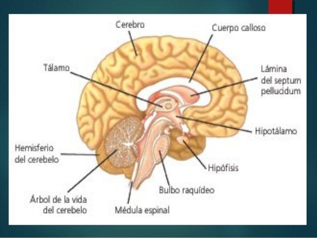 Anatomia del Cerebro