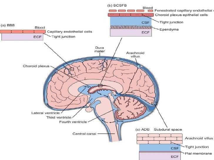Image result for Meanings of the Brain and Cerebrospinal Fluid