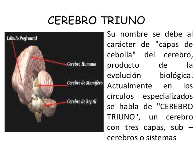 """CEREBRO TRIUNO Su nombre se debe al carácter de """"capas de cebolla"""" del cerebro, producto de la evolución biológica. Actual..."""