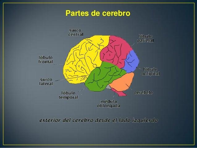El Cerebro, Partes Y Funciones