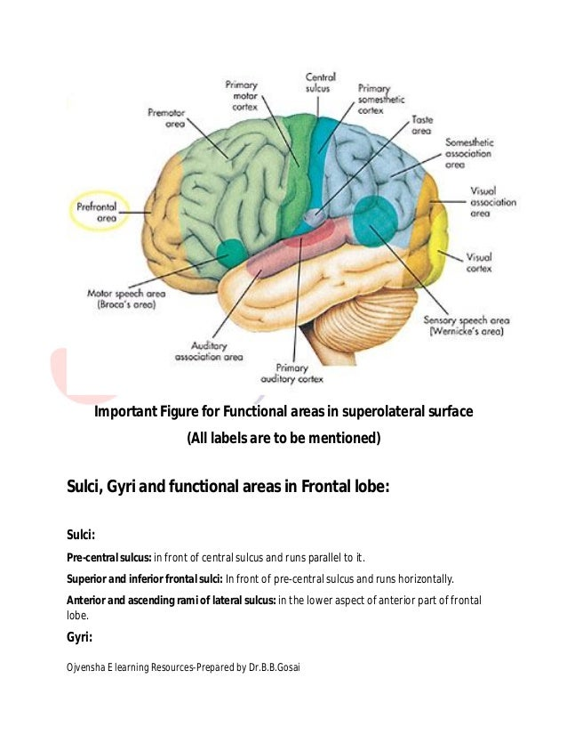 Cerebrum labels are to be mentioned 6 ccuart Images