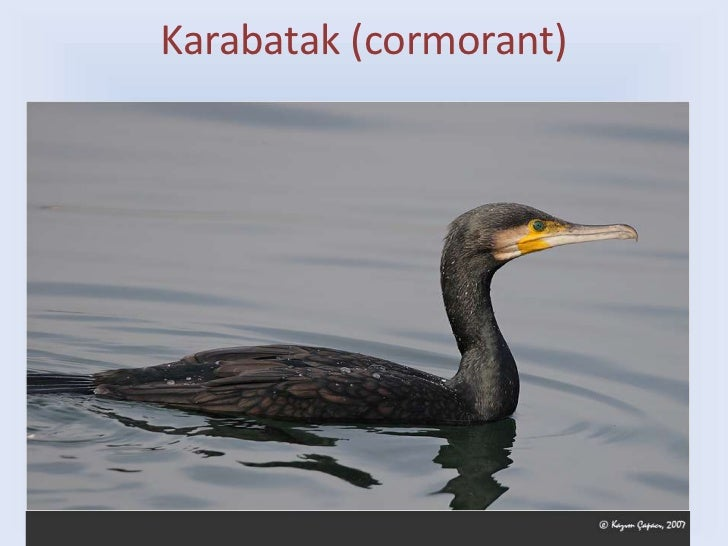 Karabatak (cormorant)