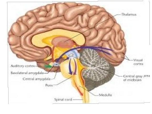 Мозочни хемисфери ● Две мозочни хемисфери со по 4 резени ( челен, темен, тилен, слепоочен) и еден длабок петти резен кој е...